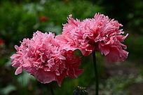 争芳斗艳的粉色大烟花