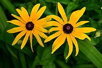 争艳的黄色太阳花