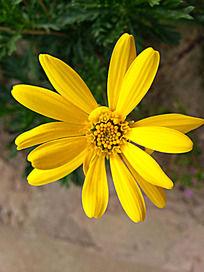 植物 花卉 小黄菊