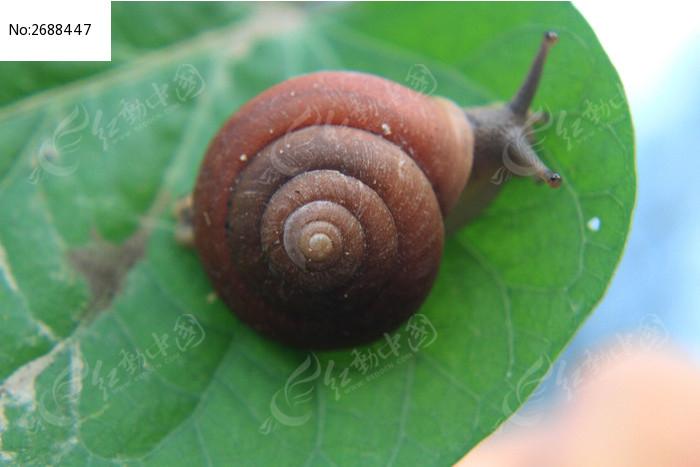 原创摄影图 动物植物 昆虫世界 地瓜叶上的蜗牛  请您分享: 红动网