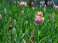 独特的紫色郁金香