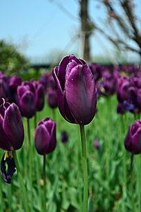 高贵的紫色郁金香