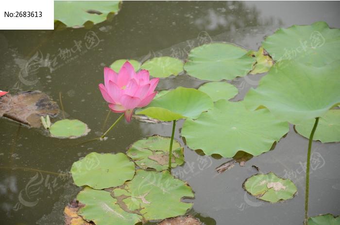 荷花图片_动物植物图片