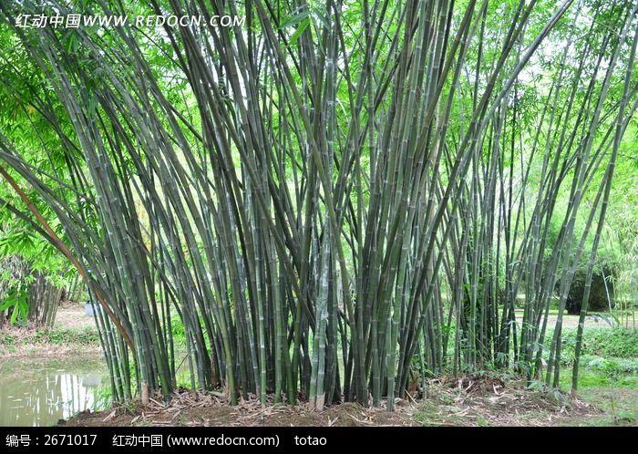 华南植物园翠竹图片_动物植物图片