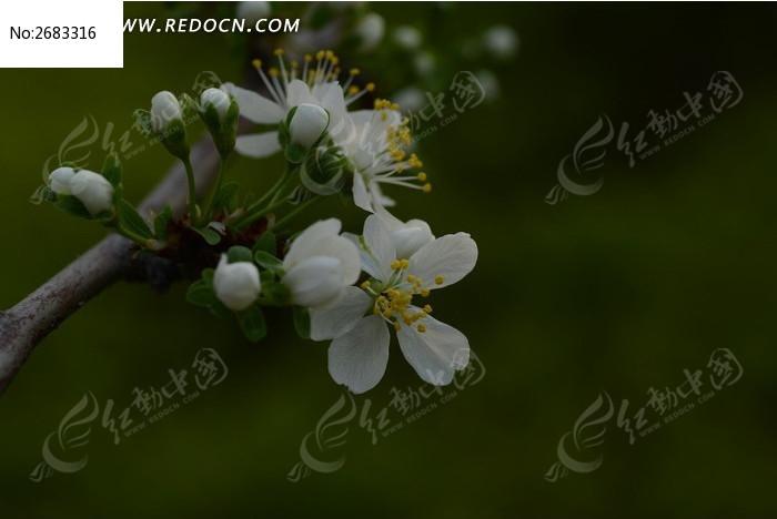 美丽的李花和花苞图片_动物植物图片