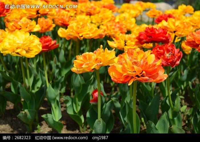 美丽的郁金香图片_动物植物图片