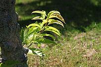 树下的嫩芽