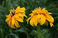 吐花展瓣的太阳花