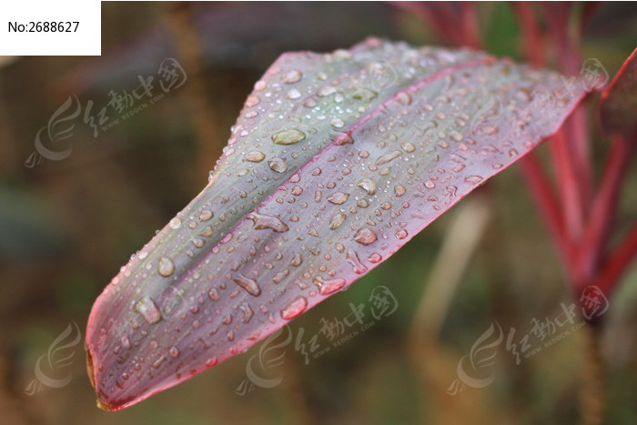 原创摄影图 动物植物 花卉花草 叶子上的水珠  请您分享: 红动网提供