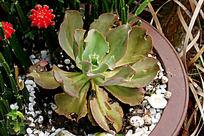 白凤多肉植物