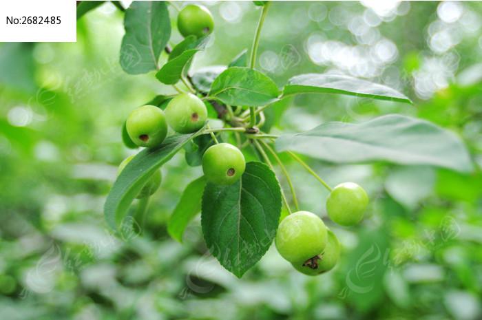 原创摄影图 动物植物 树木枝叶 海棠果实