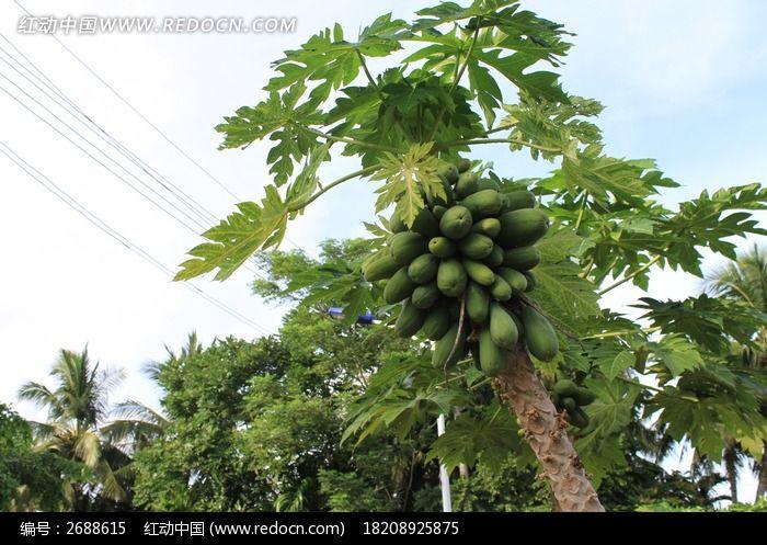 结满木瓜的木瓜树