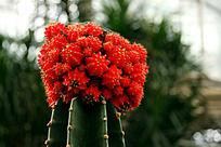 鸡冠绯牡丹多肉植物