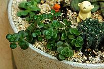 姬星美人多肉植物