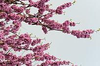 开满枝头的紫荆花