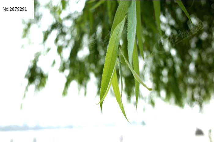 绿色的柳叶图片图片