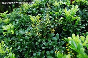 绿叶上的金黄小花