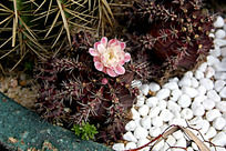 牡丹玉锦多肉植物
