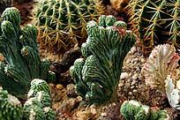 沙地多肉植物