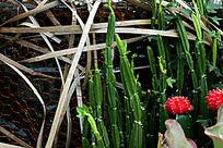 仙人掌多肉植物