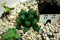 玉露多肉植物