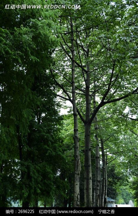 原创摄影图 动物植物 树木枝叶 白兰树  请您分享: 红动网提供树木