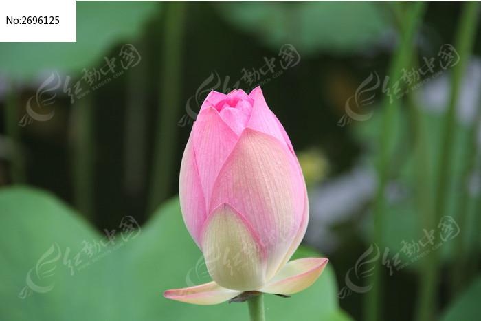 含苞待放的粉色荷花花蕾图片