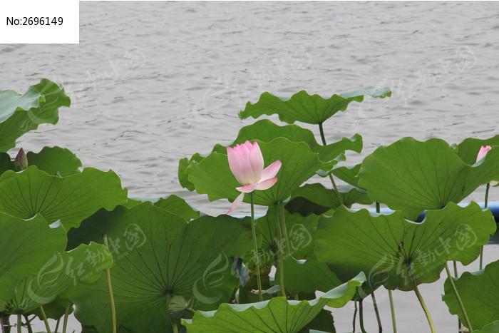原创摄影图 动物植物 花卉花草 湖泊边的荷花  请您分享: 红动网提供