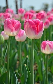 粉嫩美丽的郁金香
