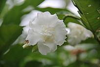 盛开的白色山茶花