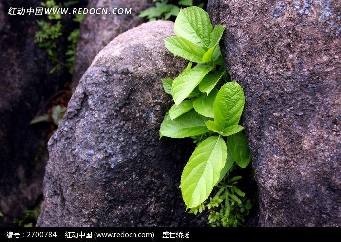 原创摄影图 动物植物 花卉花草 石缝植物