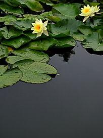 水面上的莲叶和莲花