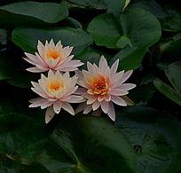 依靠在一起的莲花