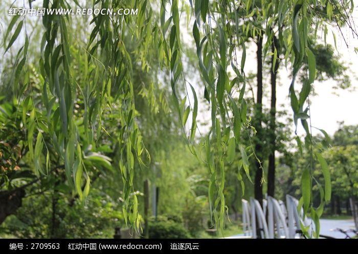 公园里的柳树叶子图片