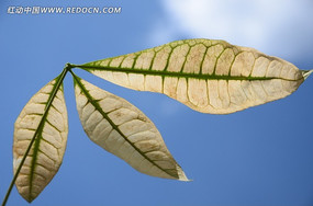 蓝天下枯黄的树叶