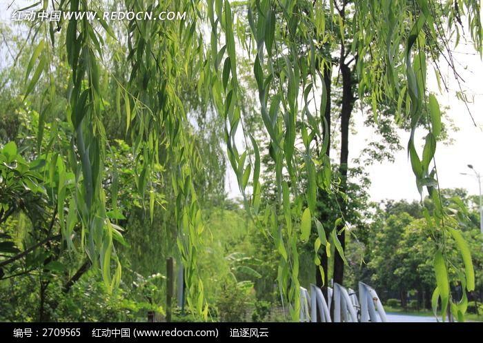 柳树叶子图片