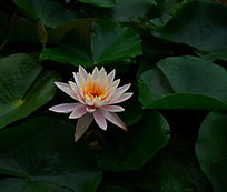 圣洁的莲花
