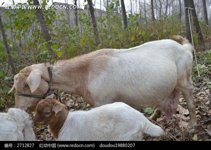 侧眼斜视的羊图片_动物植物图片