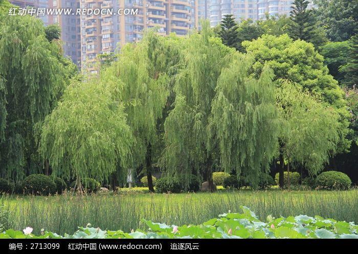 荷塘边的柳树图片