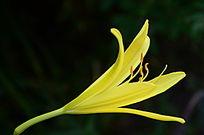 流光溢彩的百合花