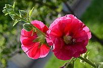 流光溢彩的蜀葵花