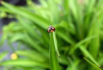绿叶上展翅的瓢虫
