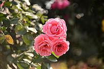 三朵月季花