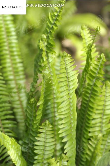 肾蕨图片_动物植物图片