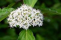 枝头上绽放的魔毡绣线菊