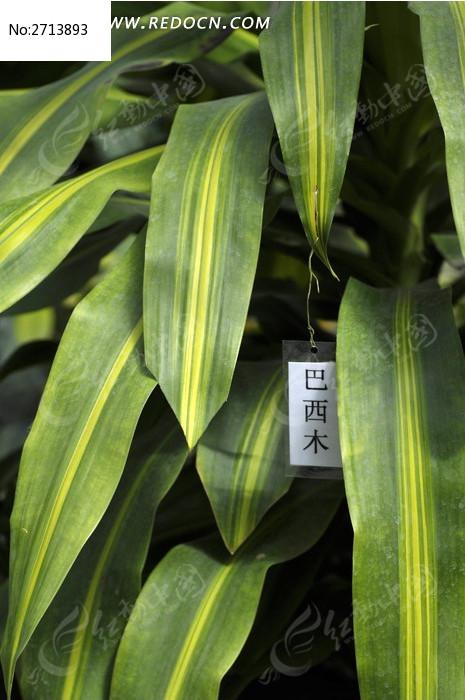 巴西木的叶子图片_动物植物图片