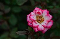 边缘粉色的月季花