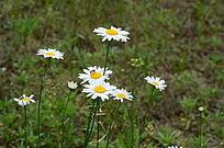 草地上的盛开的野菊花