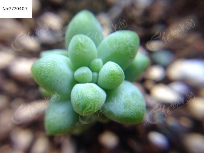 多肉蓝宝石图片_动物植物图片