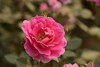 粉红色月季花